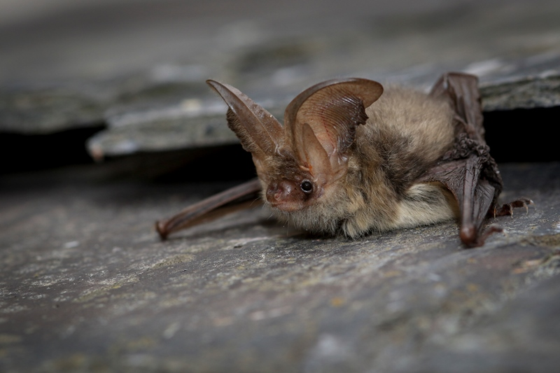 Brown Long Eared Bat resting on a slate surface