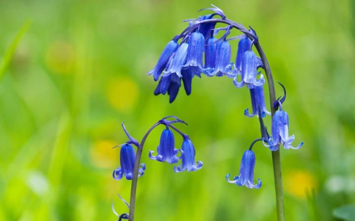 Close up picture of bluebells