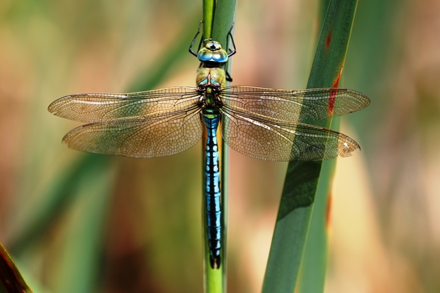 Close up photograph of a dragonfly