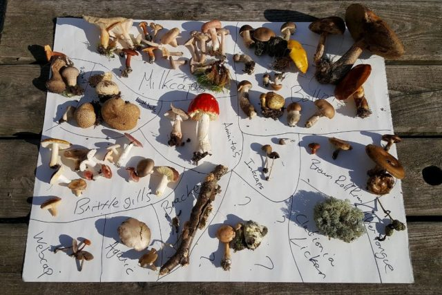 An assortment of fungi arranged on paper with names of species handwritten next to them
