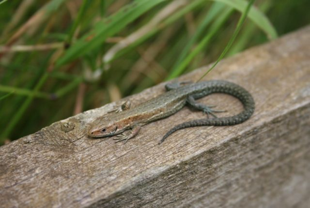 Photograph of a common lizard
