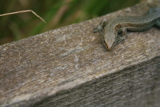 Close up photograph of a Common Lizards head and front legs