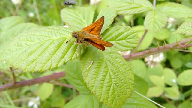 Large Skipper butterfly resting on a leaf