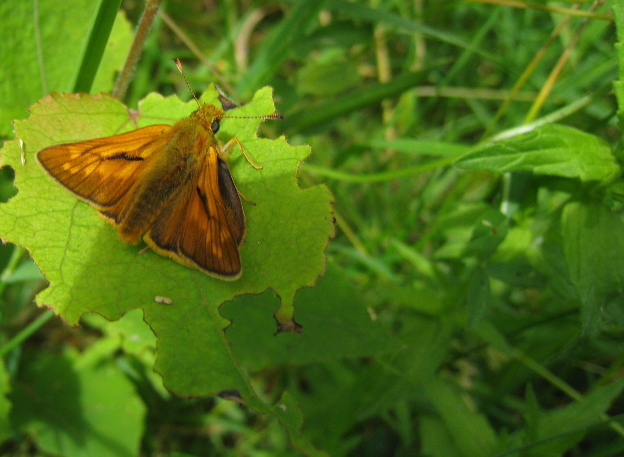 Photo of a large skipper butterfly sitting on a leaf