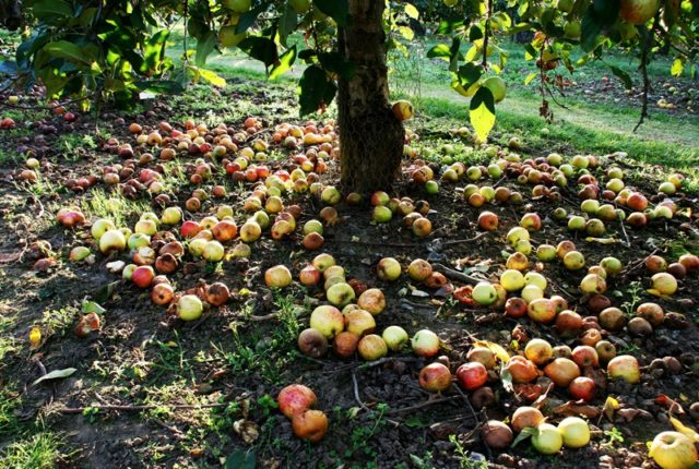 Base of an apple tree surrounded by apples on the ground