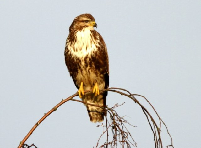 Buzzard perched on top of a branch