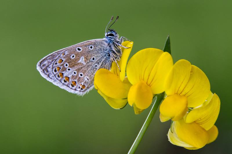 Common Blue Butterfly resting on yellow flower