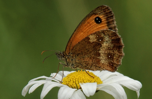 Gatekeeper butterfly on top of a flower