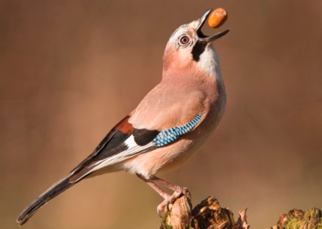 Jay tossing an acorn into its beak
