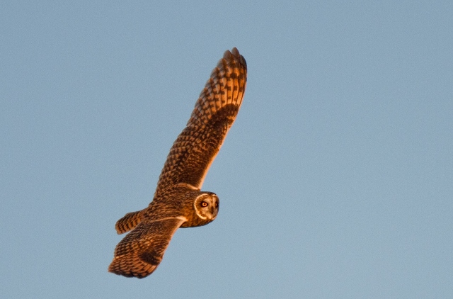 Short eared owl hunting at sunset