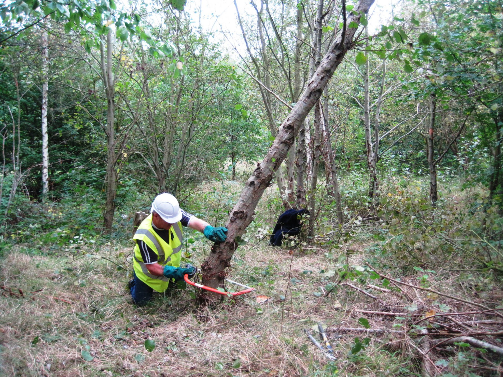 Volunteer felling a tree