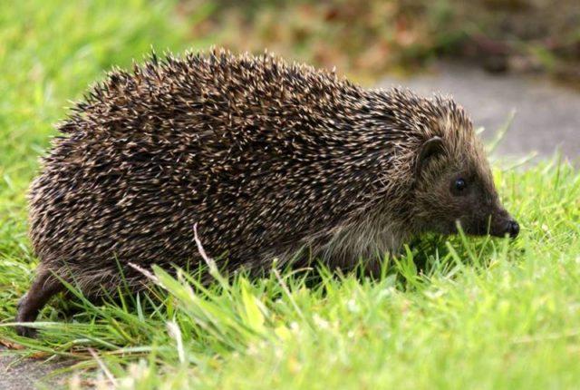 Hedgehog Survey Training