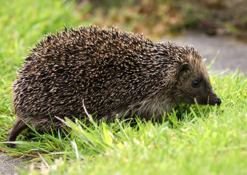 Close up photo of Hedgehog walking over grass