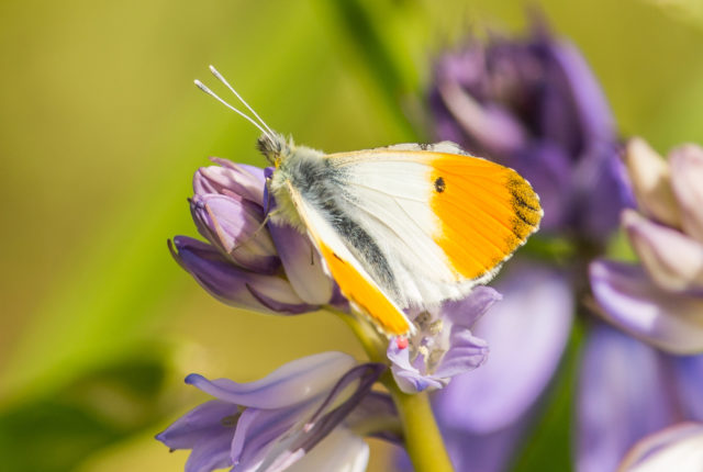 Butterfly Survey Training - Willesley Wood