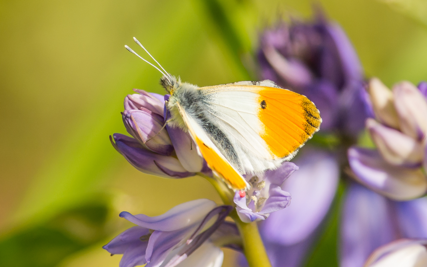 Orange tip butterfly resting on purple flower