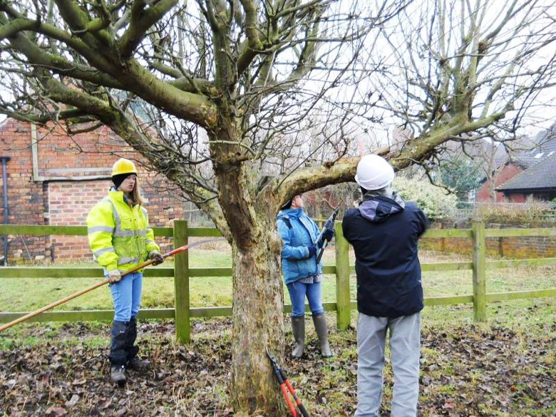 3 people pruning a tree