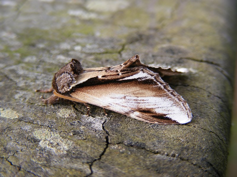 Close up photograph of Lesser Swallow Prominent