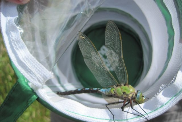 An Emperor Dragonfly caught in a net