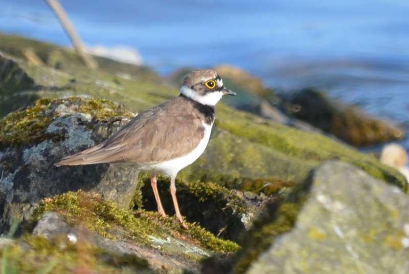 Picture of a Little Ringed Plover