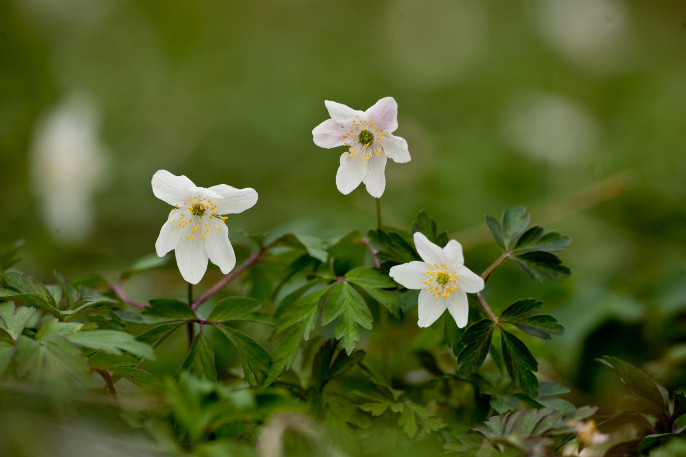 Photograph of three wood anemone flowers
