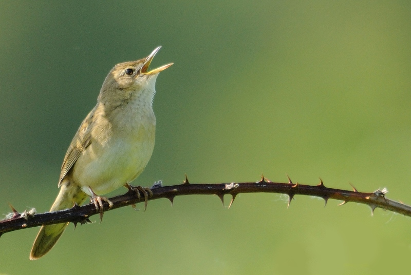 Photo of a Grasshopper Warbler sitting on a branch singing