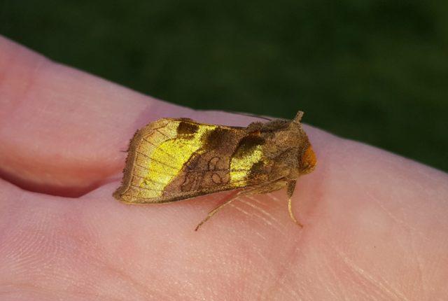July Moth Breakfast